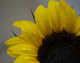 Peeking Sunflower after the rain. Limited edition.