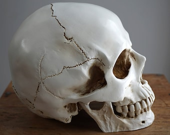 Human Skull with moving Jaw Bone Replica Skull Real Size Skull Decor Realistic LifeSize High Quality Resin Cast mandible jawbone Anatomy 1:1
