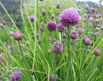 Chive seeds, herb seeds, herb garden, fresh herbs, butterfly garden, urban garden, indoor herb garden, organic herb seeds, bee garden