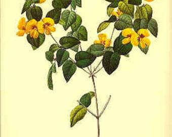 Redoute Botanical Print -  - Platylobium - 106