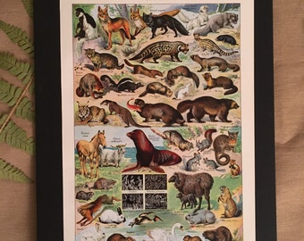 Board naturalist, history & natural sciences - zoology furs - Larousse