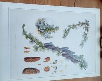 "Large 14""  SIKKIM LARCH Vintage Botanical Print Antique flowers, plant botanical print, bookplate art print, Purple plants plant wall"