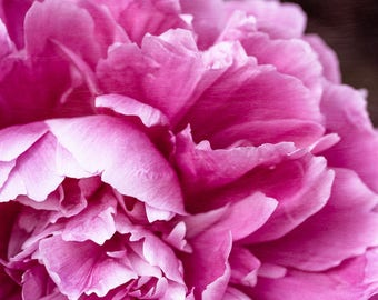 Pink Peony Photograph, Pink Wall Decor, Bedroom Wall Art, Cottage Chic Art, Peony Print or Canvas, Abstract Floral Art, Bathroom Art