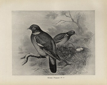 Antique Original Bird  Lithograph - wood Pigeon- Black and White Print  dated 1890