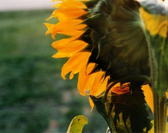 Day Rising - Sunflower Photo Notecard, Photo Greeting Card, Blank Greeting Card, Floral Photo Notecard, Stationery, Blank Notecard