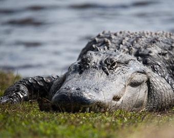 A big gator