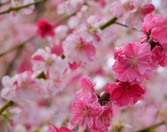 Cherry Blossoms Matted Print