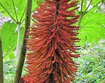 Gunnera peltata Dinosaur Food 8 seeds FREE SHIP to U.S. Only