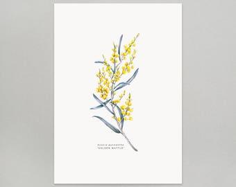 Golden Wattle A4 Giclee Print Pencil Crayon Illustration