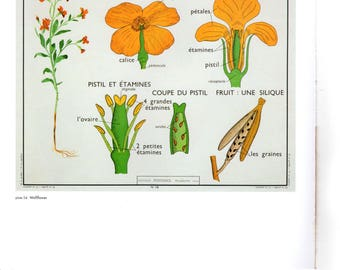 "Vintage Educational Chart Poster Print, Item 5325 Picture Botanical Art,  Wallflower 14"" x 11"""