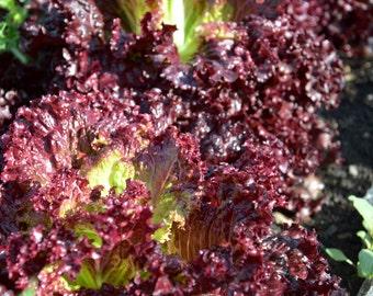 Leaf Lettuce 'Ruby'  gardening seeds - Organic Heirloom Seeds