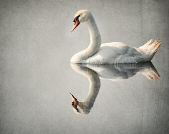 Floating on a Reflection 11x14 Fine Art Photograph - Swan, Bird, Animal, Pond, Lake, Reflection