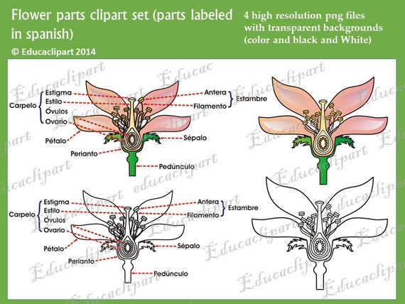 Flower Parts Clipart Set Labeled In Spanish