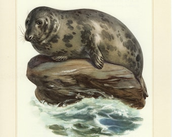 Vintage lithograph of the gray or grey seal from 1956