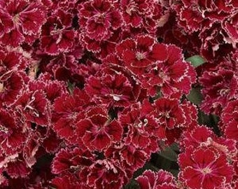 Dianthus 'Dynasty Rose Lace', Sweet William plant, live plants, red flowers, perennial plants, garden plants, cottage garden, perennials