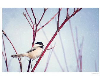 Nature Photography PRINT, Chickadee in the Snow-2, Wall Art
