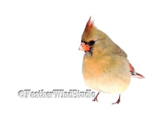 Bird Photography Female Northern Cardinal Red Brown Songbird Winter Wildlife Kids and Baby White Snow Wall Art FeatherWind Studio Bird Print