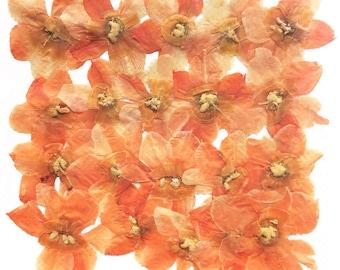 Pressed flowers, light orange Daffodil 20pcs for floral art craft card making scrapbooking