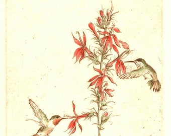 Sandy Scott Rufous Hummingbird and Cardinal Flower Original Etching Signed and Numbered 54/100