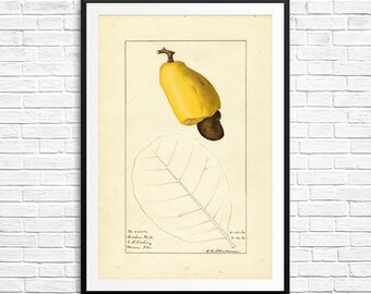 Botanical illustration, cashews, cashew nuts, cashew nut fruit, cashew botanical, vintage botanical, science art prints, botany science, art