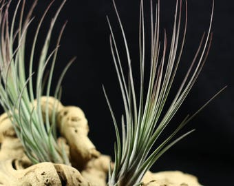 Tillandsia Juncea Air Plant (small) // Hello Tilly Airplant