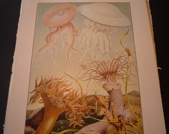 Jelly Fish Anemones 1904 - vibrant color prints - underwater creatures Science Illustration - Print only or with Mat - Ships Fast