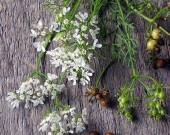 Cilantro 'Confetti' [20 Seeds]
