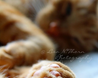 Tiger by his toe, Animal print, Cat photography, Tabby cat, Wall Art, 8 x 10 print, Day dreaming