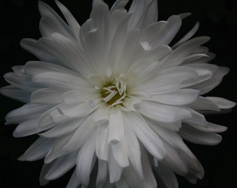 "8"" x 10"" White Chrysanthemum Fine Art Photo"