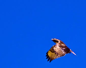 Red Tail Hawk accelerating in Flight full color