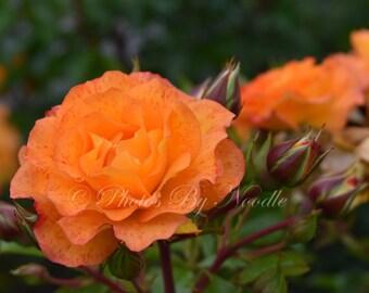 Orange Rose with Buds