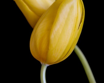 DIGITAL DOWNLOAD: Pair of Tulips-V