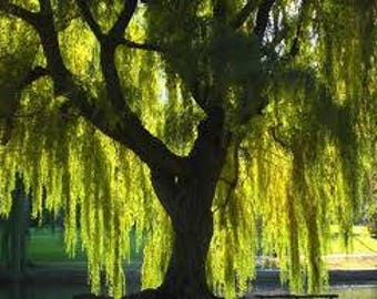 Weeping Willow Tree! 3 Ft Tall!