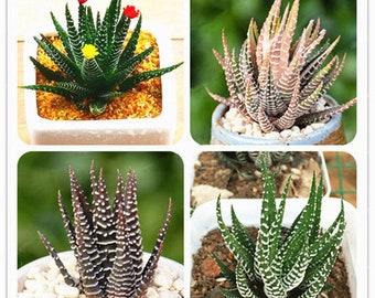 100 Pcs Haworthia Fasciata Seeds Aloe Vera Seeds Succulent Plant RARE JAPANESE Mini Milk