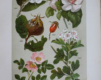 Antique botanical print Oudemans 1900