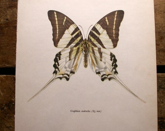 Vintage White and Black Butterfly Botanical Print - Graphium androcles