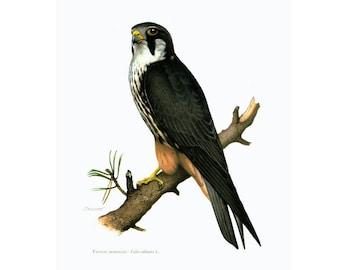 1961 Eurasian Hobby Print,  Falcon Wall ART, bird of prey, Vintage Ornithology