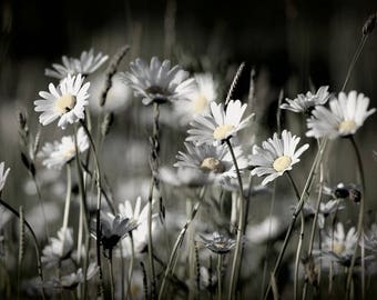 Daisies ~ ~ Print art Print ~ ~ Flowers Wildflower Meadow