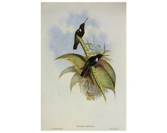 Hummingbirds Print John Gould Vintage Book Plate SALE Buy 3, get 1 free