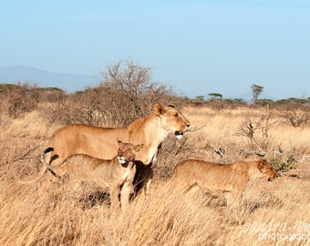 "8x10"" Photo/Print - Lioness and cubs in the Samburu National Reserve, Kenya"