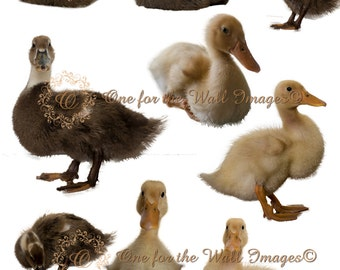 Duckling duck overlay set, png format, Stock, composite, Digital