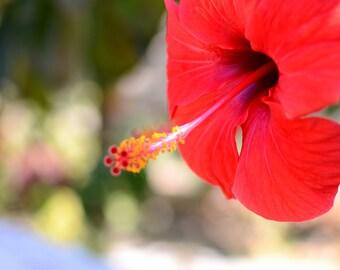 Cretan Red, Wildflowers of Crete,  Greece, Crete, Chania, Flora, Garnet Red, Mediterranean Fine Art Print