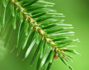 Fir Balsam Organic Essential Oil, Abies balsamea, Organic Fir Balsam, Therapeutic Fir Balsam, Pure Fir Balsam Essential Oil, Buy Fir Balsam