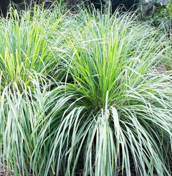 sale potted lemongrass plants organic lemon grass plants cymbopogon citratus plants actively. Black Bedroom Furniture Sets. Home Design Ideas