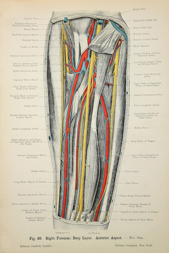 Arm Nerven Arterien Venen Muskeln c.1900 doppelseitig