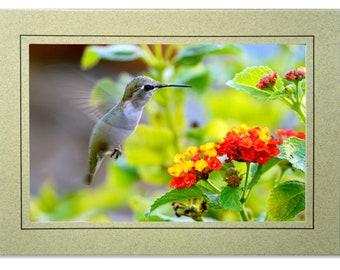 Hummingbird cards etsy hummingbird photo greeting card blank inside hummingbird card calliope hummingbird flying blank hummingbird note cards m4hsunfo