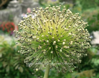 Allium Botanical Photographic Art 2 - Art Print *SUPPLIED WITHOUT FRAME*