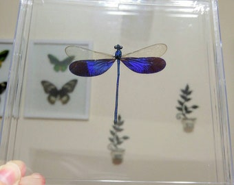 Real Damselfly/Dragonfly Neurobasis Kaupi Acrylic See Through Display- Home Decor, Gift, Collectible, Birthday