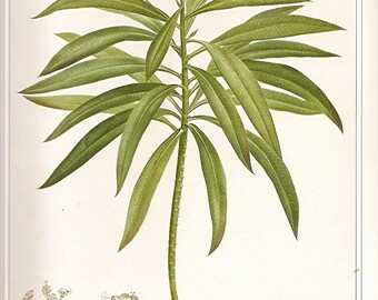 REDOUTE Botanical Print Vintage 1990 Art  Book Plate 60 Beautiful Euphorbia Mellifera Native Canaries Flower Plant with Petals Chart