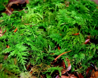 Live Moss, Feather Leaved, 1 Gallon Bag,for Terrarium, Vivarium, Miniature